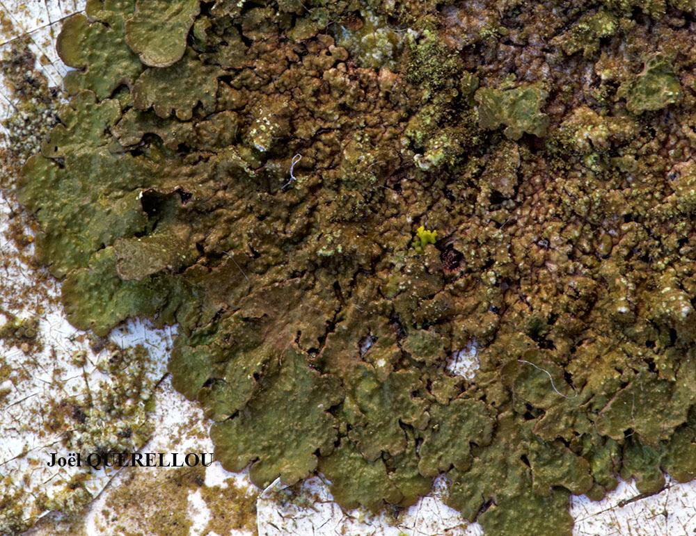 lichens marins. Black Bedroom Furniture Sets. Home Design Ideas